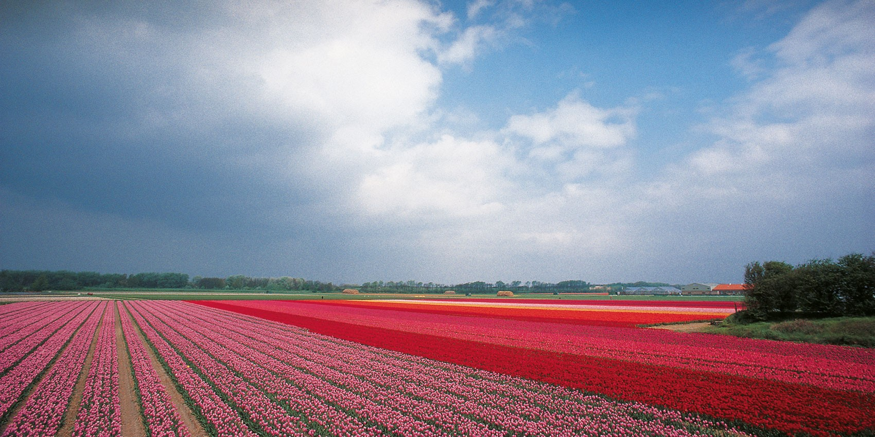 flowerfield_2